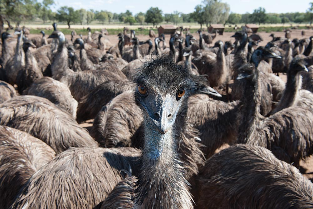 Example of a grown up emu, weighing approximately 55 kg